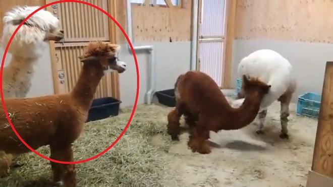Bị cắt tóc đụng hàng, 2 con lạc đà cừu lao vào vật nhau dữ dội - Ảnh 2.