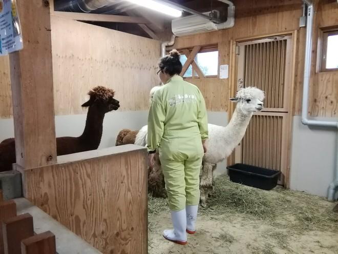 Bị cắt tóc đụng hàng, 2 con lạc đà cừu lao vào vật nhau dữ dội - Ảnh 3.