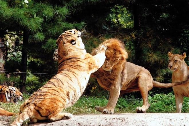 Hỏi cực khó: Hổ và sư tử đánh nhau, con nào sẽ thắng? - Ảnh 3.