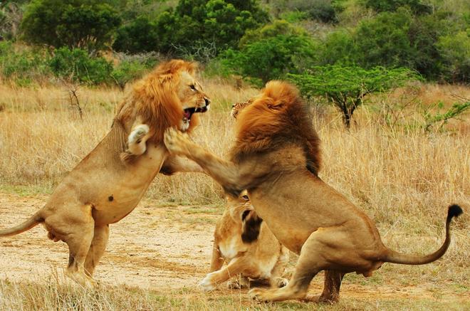 Hỏi cực khó: Hổ và sư tử đánh nhau, con nào sẽ thắng? - Ảnh 2.