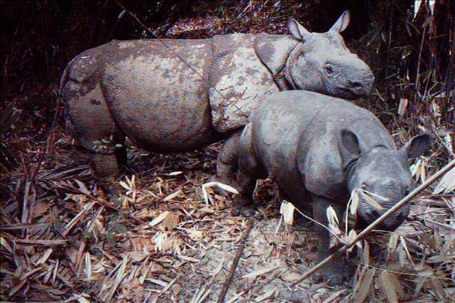 Tê giác một sừng có nguy cơ bị xóa sổ sau thảm họa sóng thần tại Indonesia - Ảnh 1.