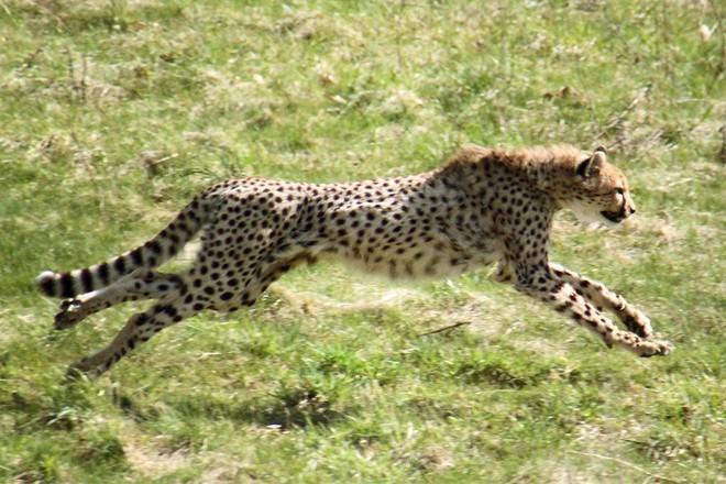 Con người dĩ nhiên không nhanh bằng loài báo, nhưng bạn có biết tại sao? - Ảnh 1.