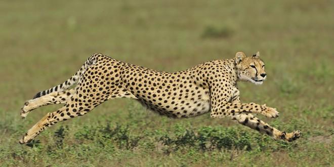 Con người dĩ nhiên không nhanh bằng loài báo, nhưng bạn có biết tại sao? - Ảnh 2.