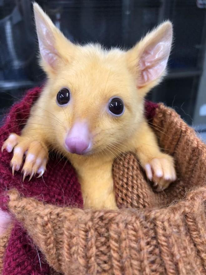 Con chồn possum đột biến suýt trở thành Pikachu đời thực, thiếu mỗi khả năng phóng điện - Ảnh 2.
