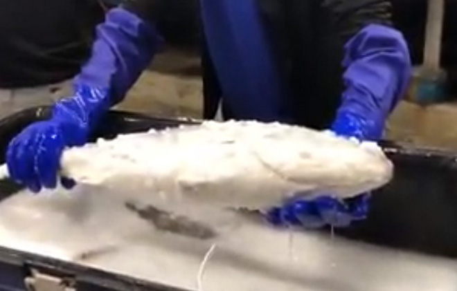 Video gây sốt cảnh chú cá đông lạnh hồi sinh thần kỳ sau khi được thả vào trong nước ấm - Ảnh 1.