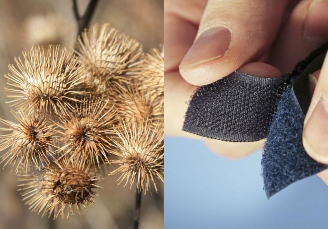 Những miếng dán Velcro hóa ra được lấy cảm hứng từ quả ngưu bàng bám trên bộ lông chó