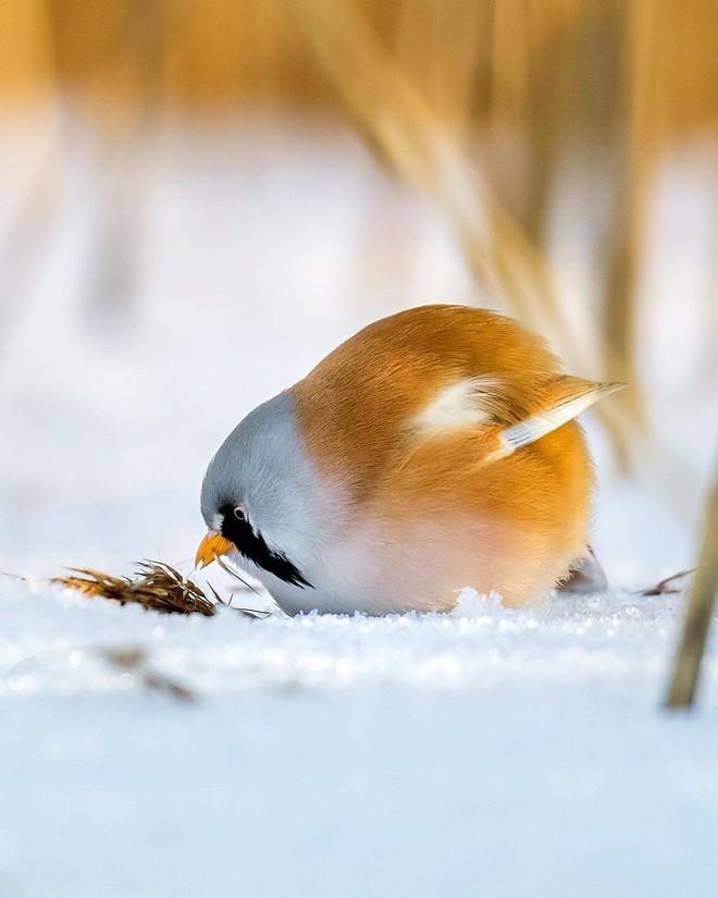 [Vui] Những chú chim trong Angry Birds là có thật, không tin mời bạn xem những bức ảnh này - Ảnh 3.