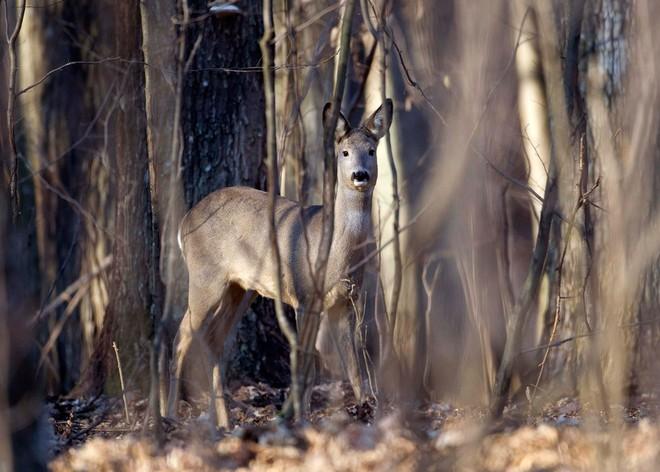 Chernobyl là thảm họa của con người, nhưng lại là tin vui với động vật hoang dã trong khu vực này - Ảnh 4.