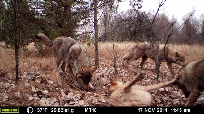 Chernobyl là thảm họa của con người, nhưng lại là tin vui với động vật hoang dã trong khu vực này - Ảnh 2.