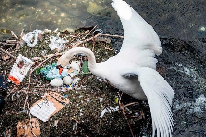 Hình ảnh gây sốc: Thiên nga đẻ trứng trong chiếc ổ làm bằng rác ở Copenhagen, Đan Mạch - Ảnh 2.