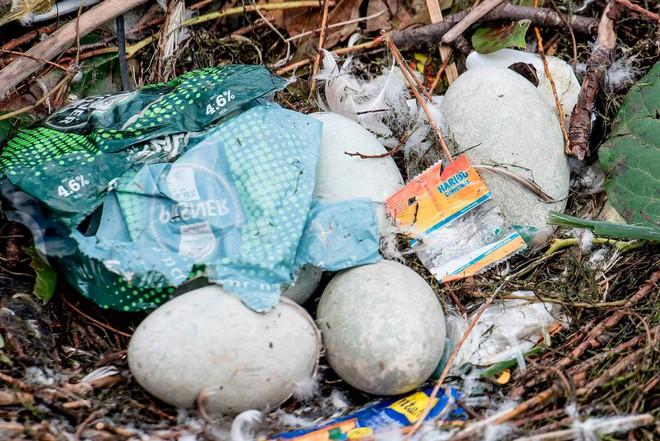 Hình ảnh gây sốc: Thiên nga đẻ trứng trong chiếc ổ làm bằng rác ở Copenhagen, Đan Mạch - Ảnh 6.