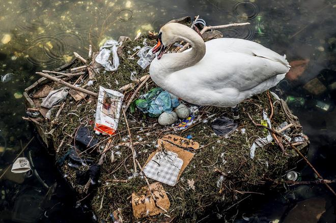 Hình ảnh gây sốc: Thiên nga đẻ trứng trong chiếc ổ làm bằng rác ở Copenhagen, Đan Mạch - Ảnh 4.