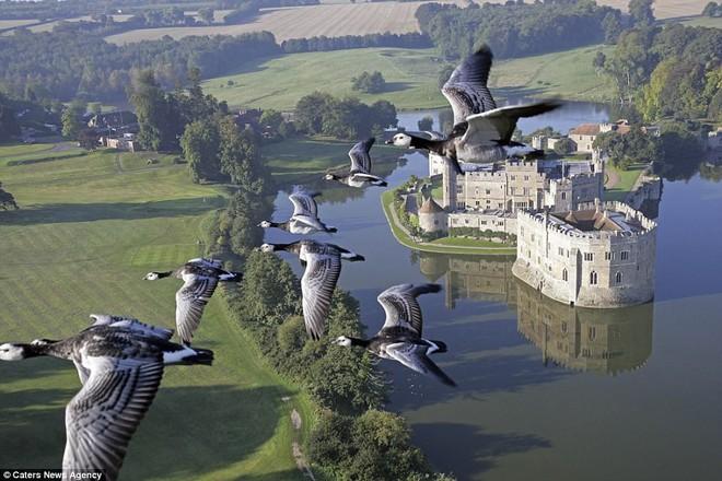 Bức ảnh tuyệt đẹp được chụp từ tàu bay của ông, khi cả đàn ngỗng cùng Moullec bay qua lâu đài Leed Castle tại vùng Kent, Pháp