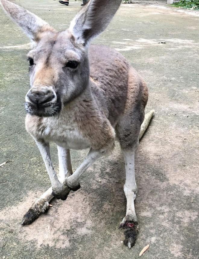 Trung Quốc: Một con kangaroo trong vườn thú đã chết sau khi bị du khách ném đá bắt nhảy - Ảnh 3.