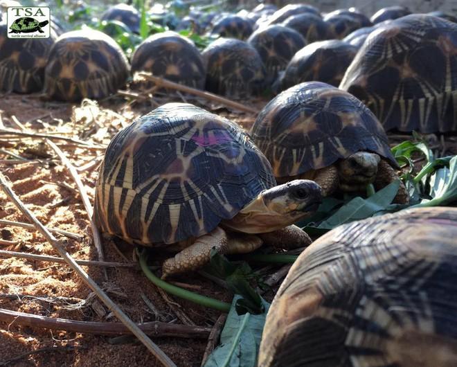 Phát hiện ra hơn 10.000 cá thể rùa cạn bị nhốt trong nhà của thợ săn, có lẽ đã không phát hiện được ra nếu mùi hôi thối không lan rộng ra toàn bộ khu vực - Ảnh 8.