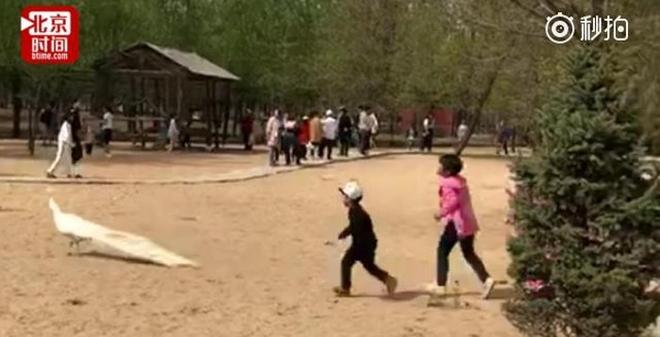 Trung Quốc: Bố mẹ thản nhiên nhìn con đuổi bắt, vặt lông chim công trong vườn thú - Ảnh 1.
