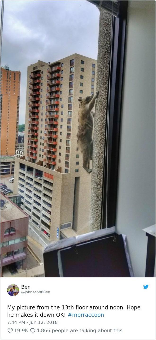 Internet nín thở dõi theo chú gấu mèo liều lĩnh leo lên tòa nhà chọc trời - Ảnh 1.