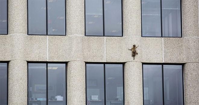 Internet nín thở dõi theo chú gấu mèo liều lĩnh leo lên tòa nhà chọc trời - Ảnh 2.