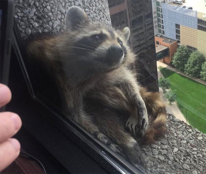 Internet nín thở dõi theo chú gấu mèo liều lĩnh leo lên tòa nhà chọc trời - Ảnh 15.
