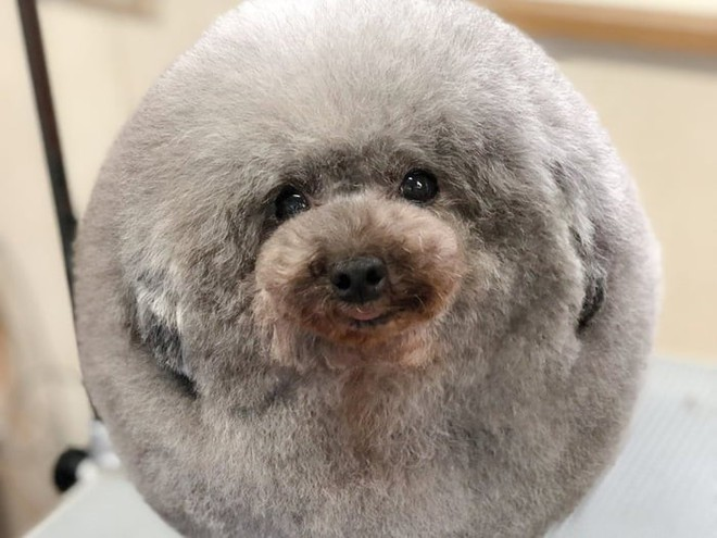 Hàng loạt chú chó bỗng hóa cừu sau khi tới làm đẹp ở salon thú kiểng Nhật Bản - Ảnh 1.