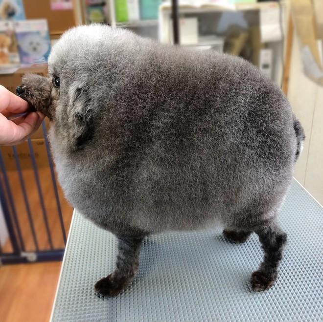 Hàng loạt chú chó bỗng hóa cừu sau khi tới làm đẹp ở salon thú kiểng Nhật Bản - Ảnh 6.