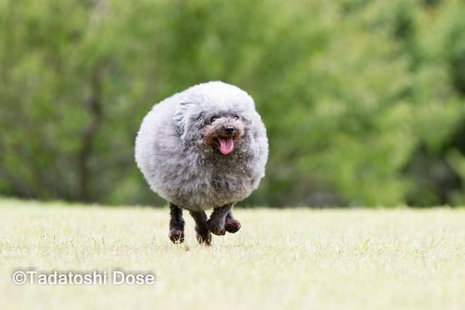 Hàng loạt chú chó bỗng hóa cừu sau khi tới làm đẹp ở salon thú kiểng Nhật Bản - Ảnh 10.
