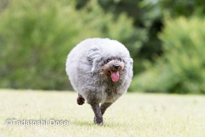 Hàng loạt chú chó bỗng hóa cừu sau khi tới làm đẹp ở salon thú kiểng Nhật Bản - Ảnh 12.