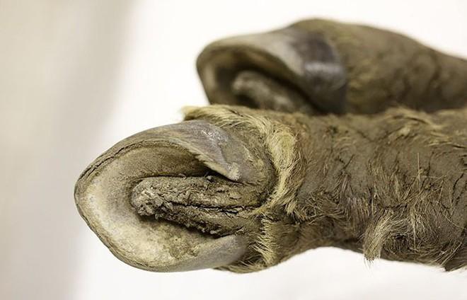 Tìm thấy xác ngựa non tuổi đời 40.000 năm vẫn còn gần như nguyên vẹn tại Siberia - Ảnh 3.