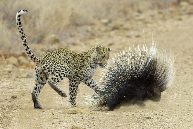 [Video vui] Thiên nhiên hoang dã đã dạy loài nhím khôn ngoan thế nào để tránh bị báo tấn công - Ảnh 2.