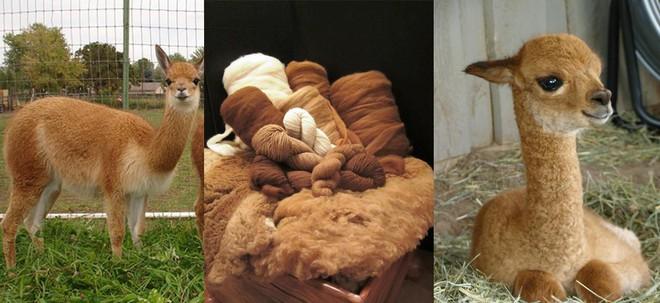 Ít ai ngờ chú lạc đà xinh xẻo này lại là nguồn gốc của loại vải sợi quý hiếm nhất thế giới - Ảnh 2.