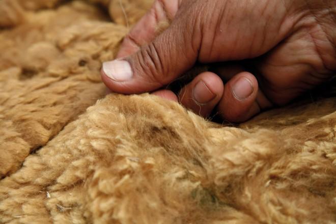 Ít ai ngờ chú lạc đà xinh xẻo này lại là nguồn gốc của loại vải sợi quý hiếm nhất thế giới - Ảnh 3.