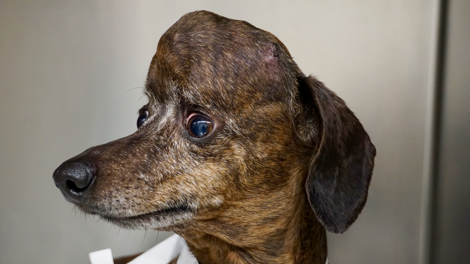 Mỹ: Cô chó bị ung thư não được cứu sống nhờ hộp sọ titan in 3D - Ảnh 1.