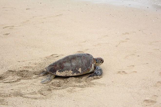Biến đổi khí hậu đang khiến quần thể rùa biển này rơi vào cảnh âm thịnh dương suy. - Ảnh 1.