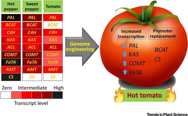 Hãy làm ra những quả cà chua cay như ớt, các nhà khoa học nói - Ảnh 2.