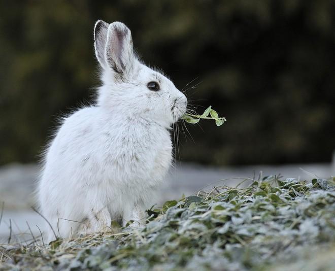 Video ghi lại cảnh thỏ ăn thịt đồng loại làm bất ngờ giới khoa học - Ảnh 1.