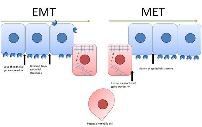 Các nhà khoa học biến thành công tế bào ung thư thành tế bào mỡ, hứa hẹn một phương pháp trị liệu vô cùng độc đáo - Ảnh 2.