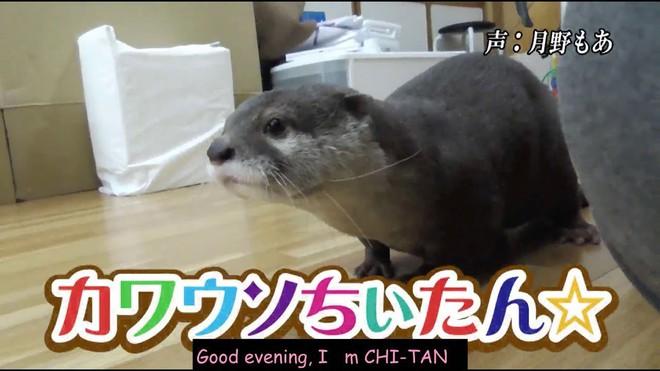 Rái cá Chiitan bị thành phố Nhật Bản phế truất danh hiệu linh vật vì thái độ lồi lõm - Ảnh 3.