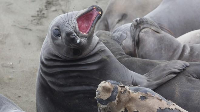 Lợi dụng chính phủ Mỹ đóng cửa, 60 con hải tượng chiếm luôn bãi biển nổi tiếng ở California và không chịu rời đi - Ảnh 1.