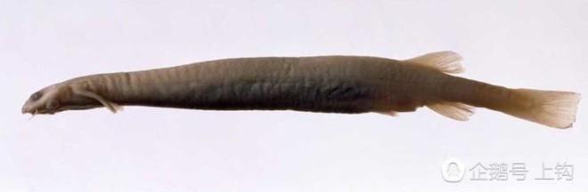 Cơn ác mộng của đàn ông khi xuống nước, loài cá có thể loại bỏ bộ phận sinh dục chỉ với một vết cắn - Ảnh 3.