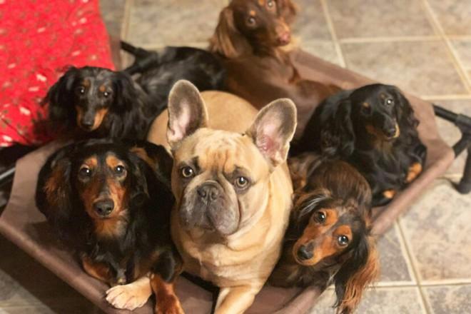Cặp vợ chồng Mỹ chi hơn 20 triệu đồng cho chiếc giường dài gần 4 mét để có thể ngủ chung với 7 boss chó mỗi tối - Ảnh 2.