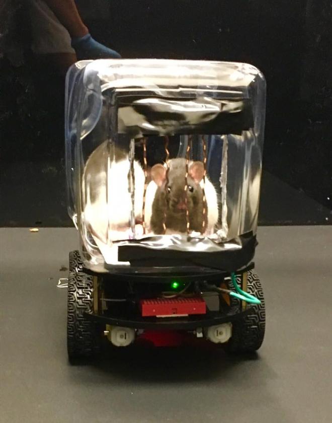 Các nhà khoa học dạy chuột lái ô tô và chúng đã tốt nghiệp xuất sắc thế này đây - Ảnh 3.