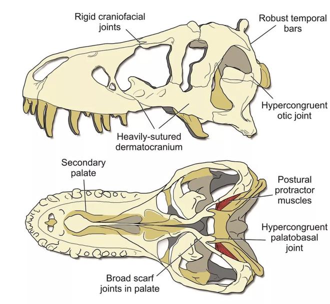 Hộp sọ của T-Rex cứng tới mức chính chúng cũng không thể cắn vỡ được - Ảnh 3.
