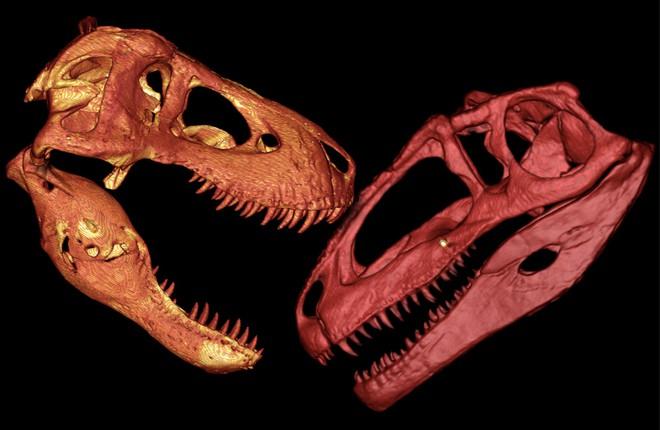 Hộp sọ của T-Rex cứng tới mức chính chúng cũng không thể cắn vỡ được - Ảnh 2.