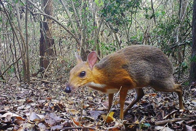 Cả thế giới vui mừng khi Việt Nam ghi nhận loài cheo cheo lưng bạc chưa tuyệt chủng sau 30 năm biến mất - Ảnh 1.