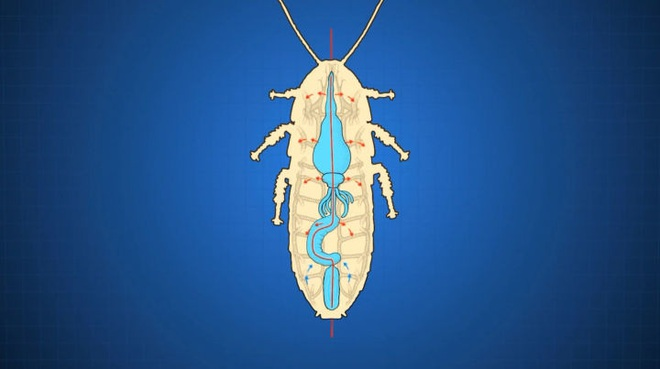 Tại sao côn trùng lại có kích thước nhỏ bé như vậy? Vì sao con gián mất đầu mà vẫn có thể sống và hô hấp bình thường? - Ảnh 8.