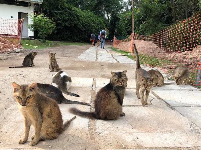 Cần gì đến Nhật Bản xa xôi, ngay tại Đông Nam Á cũng có 1 hòn đảo toàn mèo là mèo đây này - Ảnh 2.
