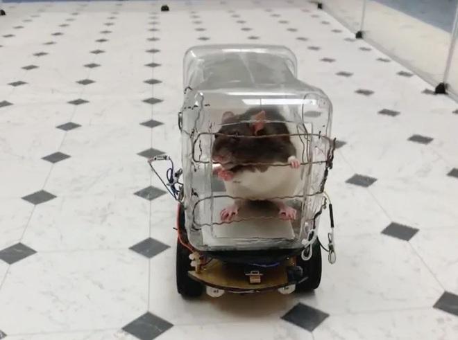 Mỹ: Các nhà nghiên cứu tự chế chiếc ô tô tí hon để dạy loài chuột lái xe - Ảnh 2.