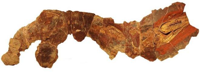 Cá mập hiện đại có thân hình to lớn, nhưng tổ tiên 360 triệu năm trước của chúng lại trông rất giống loài lươn - Ảnh 2.