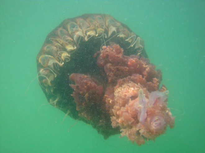 Hàng ngàn loài sinh vật tuyệt chủng vì biến đổi khí hậu, tại sao chỉ riêng sứa sinh sôi mạnh? - Ảnh 3.