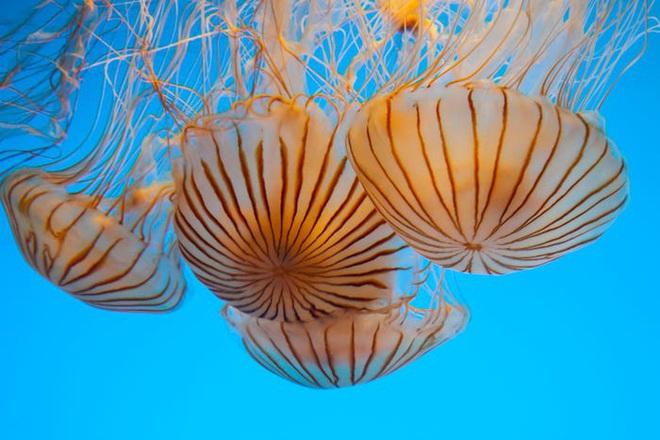 Hàng ngàn loài sinh vật tuyệt chủng vì biến đổi khí hậu, tại sao chỉ riêng sứa sinh sôi mạnh? - Ảnh 5.